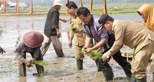 Wakil walikota Solok, Reinier Ketua DPRD Kota Solok, Yutris Can SE malakukan tanam perdana padi varietas anak daro