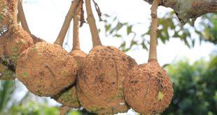 Durian Gundul hasil eksperimen di NTB