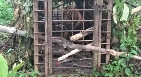 Anak harimau sumatra masuk perangkap