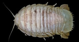 Kecoak Raksasa yang ditemukan di Laut Sunda