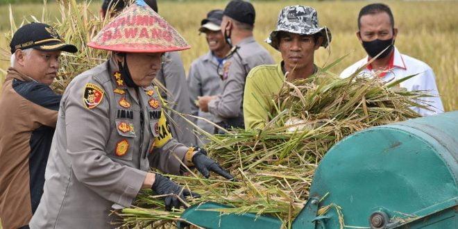 Dukung Ketahanan Pangan Nusantara,  Polres Bukitinggi Gelar Panen Raya