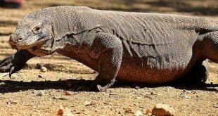 Komodo (Varanasus Komodoensis) merupakan speises kadal yang juga merupakan salah satu hewan endemik Indonesia
